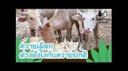 ควายเผือก ต่างยังไงกับควายปกติ | Animals Speak [by Mahidol Kids]