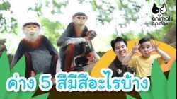 ค่าง 5 สี มีสีอะไรบ้าง   Animals Speak [by Mahidol Kids]